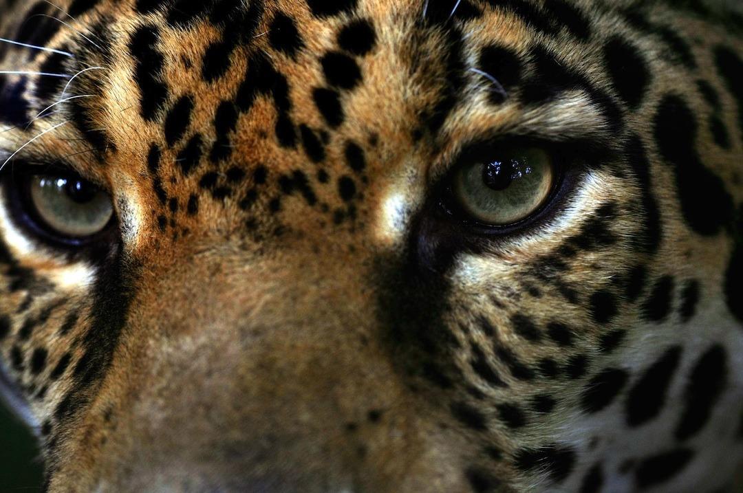 CAÑAS: Refugio de una jaguar ciega, y otros felinos con sueño de libertad.
